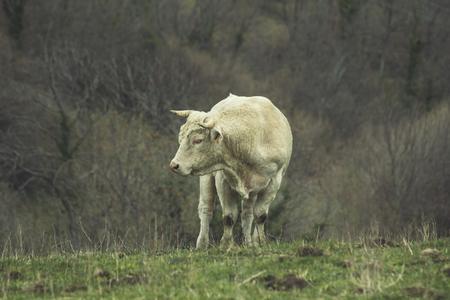 Vache rasée dans la nature, prairie verte