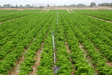 Carrots plantation with sprinklers, sustainable agriculture
