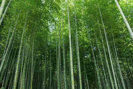 Bamboo forest at Arashhiyama district in Kyoto, Japan