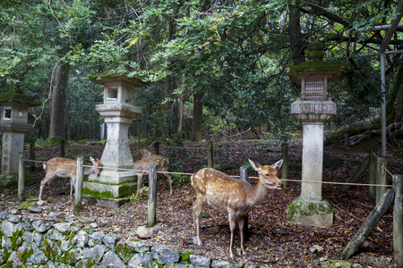 Stone lanterns and deers in Kasuga Taisha Shrine in Nara, Japan
