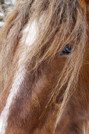 Brown horse face close up