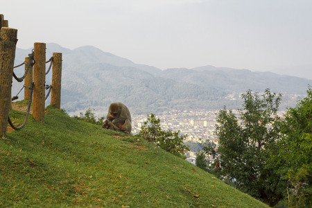 Japanese macaques in the monkey park at Arashiyama, with the city of Kyoto in the background, Japan
