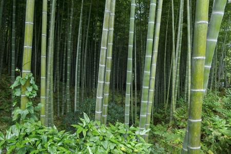 Bamboo forest at Arashhiyama district in Kyoto, Japan
