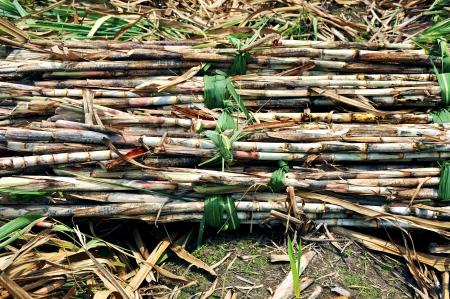 cane sugar: time of harvesting sugar cane crop