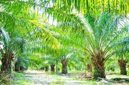 palm field Stock Photo - 15787602