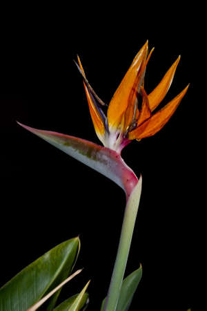 A flower bird of paradise with black background Stock Photo