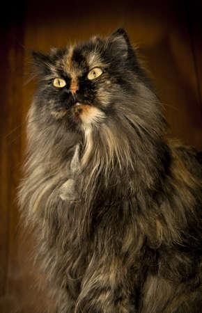 courteous: persian cat