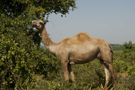 eating camel Stock Photo