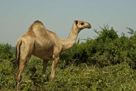 de pie en camello Foto de archivo - 12085615
