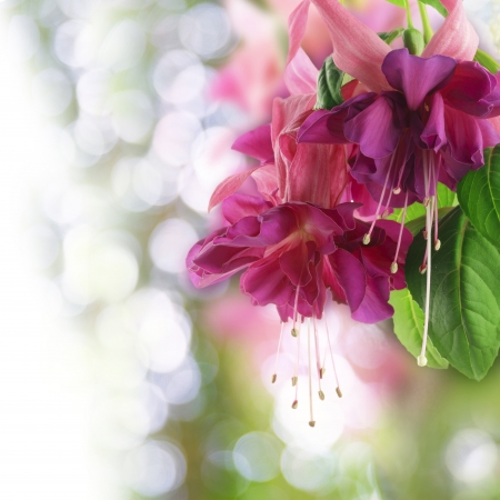fuchsia flower: Close up of pink fuchsia flower
