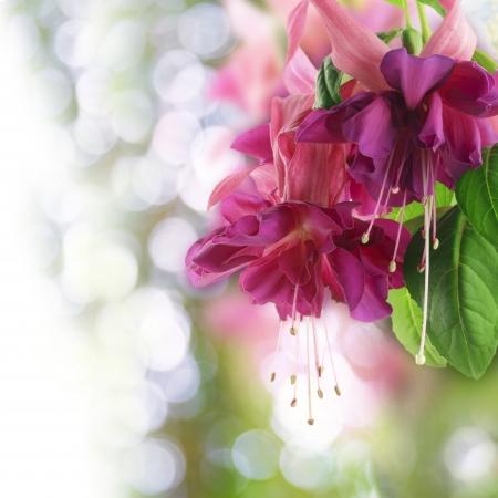flores fucsia: Primer plano de flores de color rosa fucsia