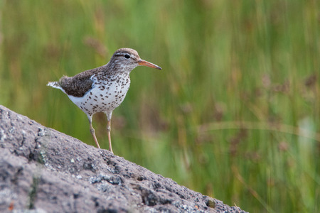 Closeup photo of Spotted Sandpiper adult on rock