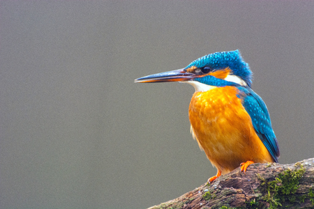 Closeup photo of Common Kingfisher