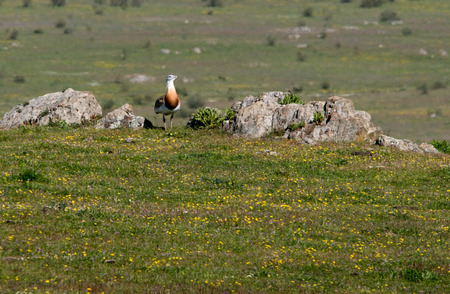 Closeup photo of  Great Bustard perched on field