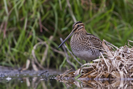 Closeup photo of Common Snipe along water side