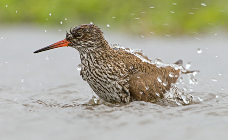Closeup of bathing Common Redshank