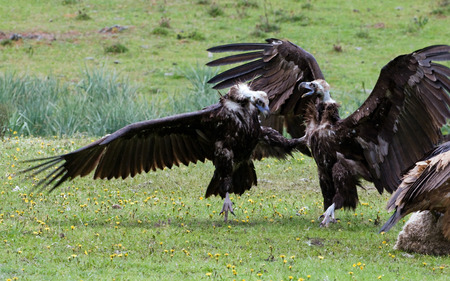 Closeup photo of Cinereous Vultures fighting