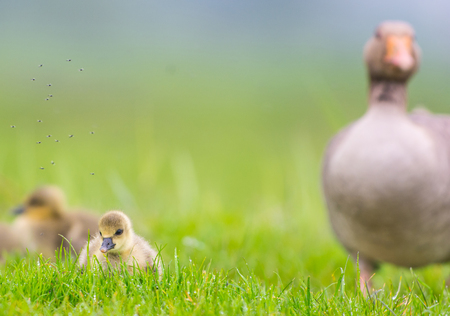 Gray-lag Goose with gosling