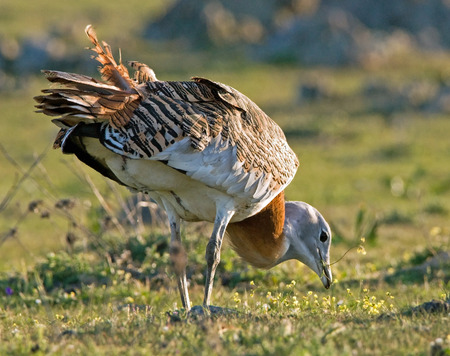 Great Bustard foraging Stock Photo