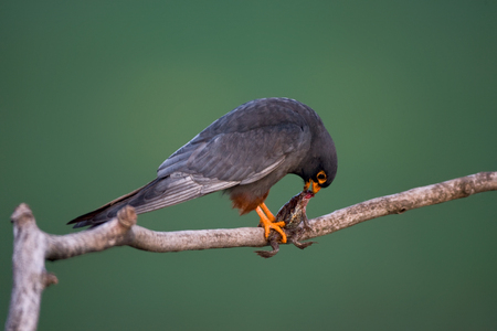 Red-footed Falcon eating its prey
