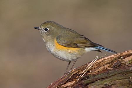 Immature male Red-flanked Bluetail perched