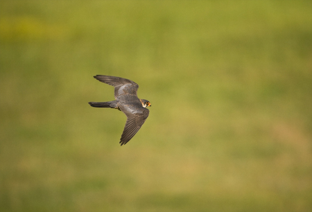 Red-footed Falcon male flying