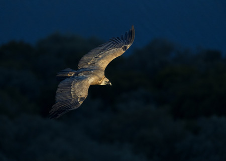 Griffon Vulture (Gyps fulvus) gliding at first light along El Castillo in Monfragüe National Park, Spain.