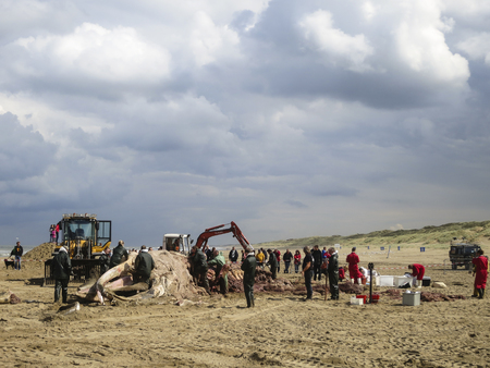 A team of Naturalis dissecting stranded Humpback Whale (Megaptera novaeangliae) at Scheveningen in the summer of 2014