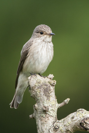 Spotted Flycatcher on a branch 스톡 콘�츠