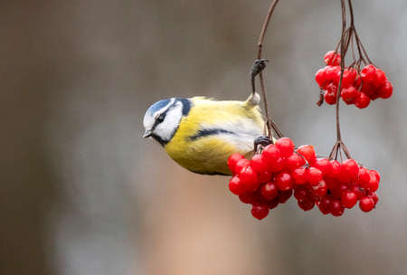 Blue Tit (Cyanistes caeruleus) hanging at branch with red berries