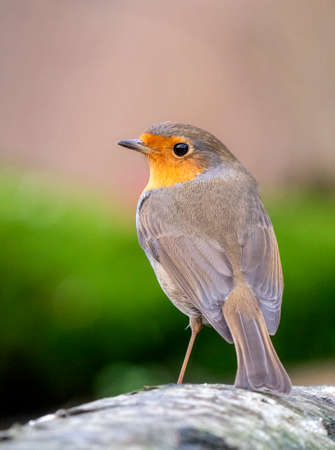 European Robin (Erithacus rubecula) perched on a trunck