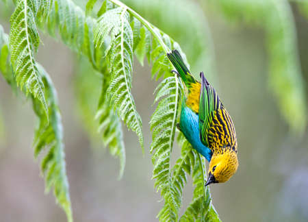 Gilt-edged Tanager (Tangara cyanoventris) male foraging