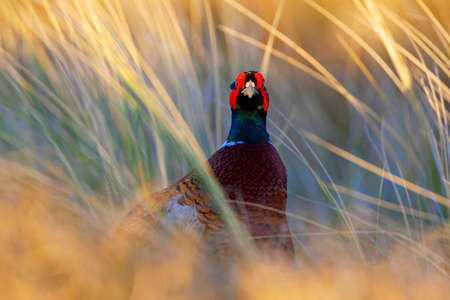 Male Common Pheasant (Phasianus colchicus) in the Netherlands. Standing between tall grass, staring into the camera.