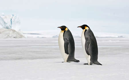 Adult Emperor Penguin, Aptenodytes forsteri, in Antarctica. Two standing on guard close to the colony.