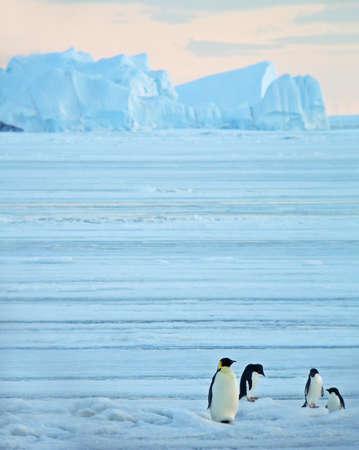 Adult Emperor Penguin, Aptenodytes forsteri, in Antarctica. One standing in blue ice landscape with three Adelie Penguins.