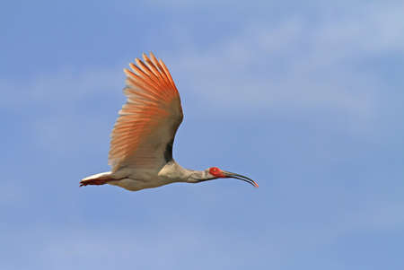 Wild Japanese Crested ibis (Nipponia nippon) in flight in China. A species that was brought to the brink of extinction.