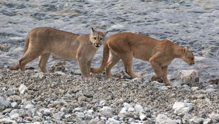 Two wild Cougars (Puma concolor concolor) walking along a river in Torres del Paine national park in Chile.