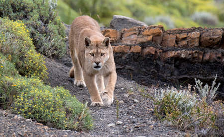 Wild Cougar (Puma concolor concolor) in Torres del Paine national park in Chile. Walking towards the photographer. 版權商用圖片