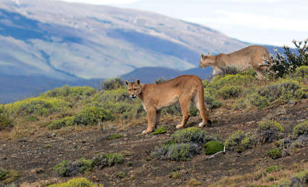 Two Wild Cougars (Puma concolor concolor) in Torres del Paine national park in Chile. Walking side by side. 版權商用圖片