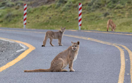 Three wild Cougars (Puma concolor concolor) in Torres del Paine national park in Chile. A family group crossing a road. 版權商用圖片