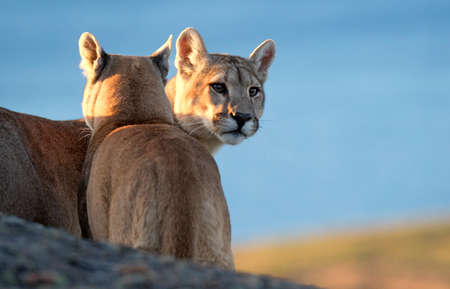 Two wild Cougars (Puma concolor concolor) in Torres del Paine national park in Chile. One staring in the distance. 版權商用圖片