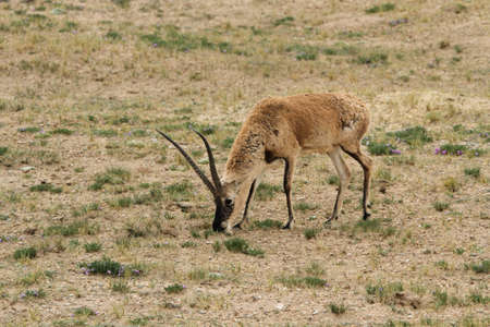 Male Tibetan antelope or chiru (Pantholops hodgsonii) grazing on the Tibetan Plateau in Tibet.