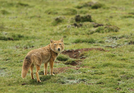 Tibetan sand fox (Vulpes ferrilata) walking on the upland plains on the Tibetan Plateau in Tibet, China.