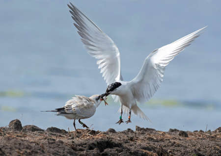 Juvenile Gull-billed Tern (Gelochelidon nilotica) fed by its parent during late summer in Netherlands. Breeding birds from further north staging on Dutch induated buld fields. Reklamní fotografie