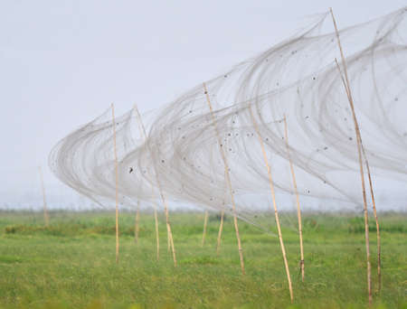 Illegal misses nests in Moeyungyi, Myanmar. Mist nets used to capture wild birds and larger insects for consummation. Stock fotó