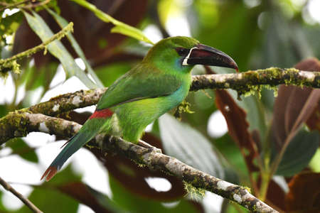 Crimson-rumped Toucanet (Aulacorhynchus haematopygus) in Mashpi reserve on the western andean slope of Ecuador. Perched on a moss covered branch.