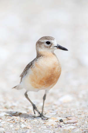 New Zealand Dotterel (Charadrius obscurus) at the coast of North Island, New Zealand. Adult standing on a sandy beach, just about to walk away.
