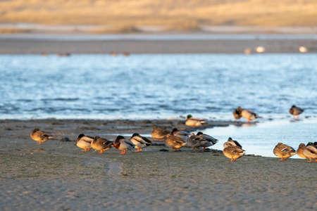 Flock of wintering Mallards (Anas platyrhynchos) resting in the Slufetr on Texel, Netherlands.
