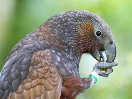 Kaka (Nestor meridionalis septentrionalis) in Zeelandia, Wellington, North Island New Zealand Stock fotó