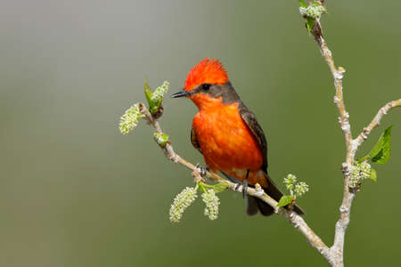Adult male Vermilion Flycatcher, Pyrocephalus obscurus, in breeding plumage Riverside County, California, USA.